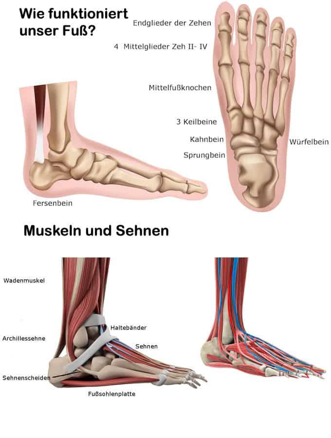 Die Füße - Muskeln und Sehnen