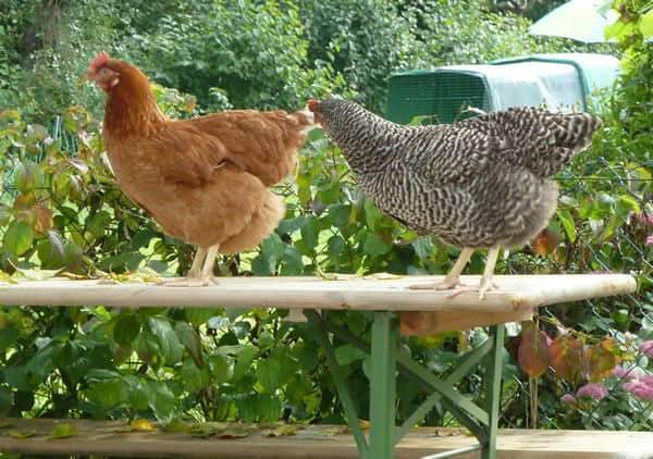 Hühner auf der Bierbank