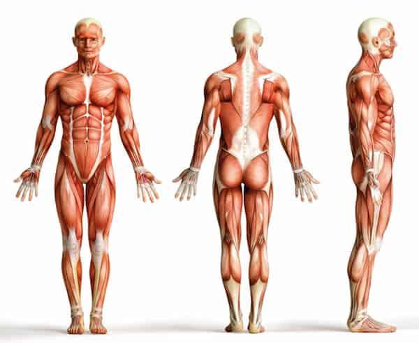 Anatomie des Körpers
