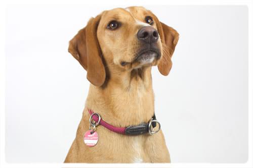 Bürohund Grace