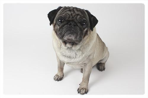 Bürohund Cookie