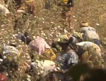 Baumwoll Ernte in Burkina Faso